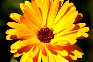 marigold-179031_1920